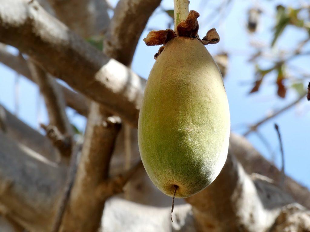 Il frutto del Baobab © pixabay/DEZALB